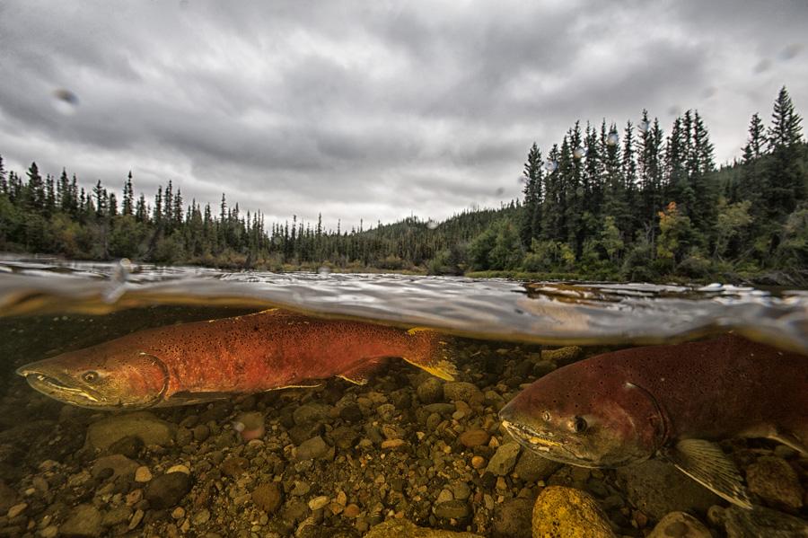 Chinook Salmon Update